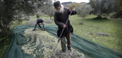 Despite Crisis, Greeks See Opportunity In Olive Oil Production