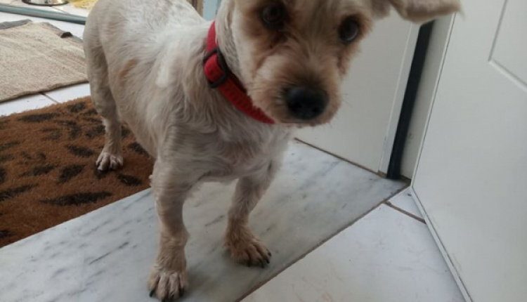 Female Dog Looking For Its Owner In Rafina Area