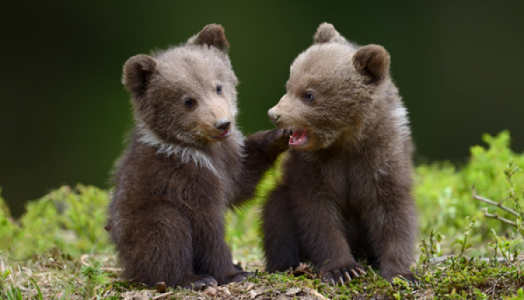 Abandoned Bear Cubs Prepare For Life In The Wild