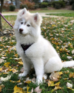 Male Siberian Husky Puppy For Adoption