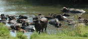 Water Buffalo Farming A Gold Mine For Greece